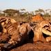 Fences set up in Botswana prevent migration