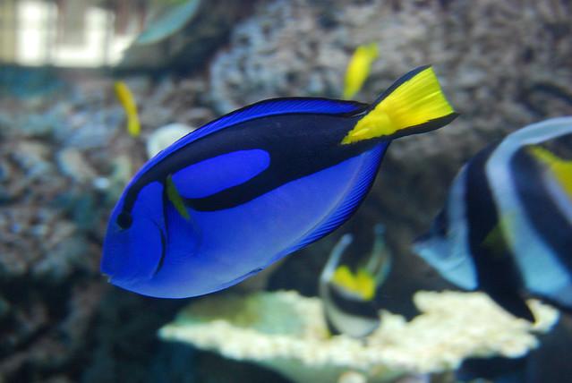 Blue tang fish long beach aquarium california flickr for Blue tang fish facts