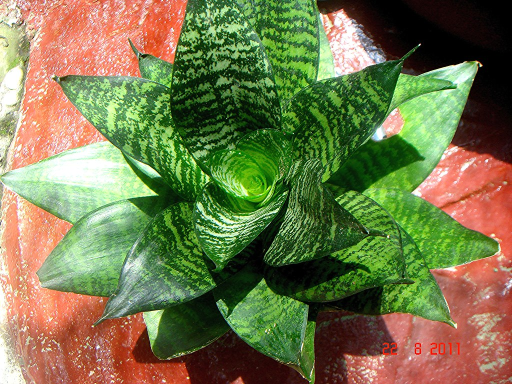 sansevieria trifasciata prain cv hahnii