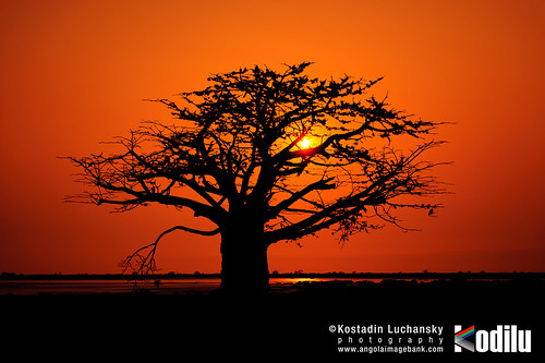 [EN] - Silhouette of baobab tree at sunset. Mussulo bay, Angola | [PT] - Silhuetas de imbondeiro ao por-do-sol. Mussulo, Angola. License at www.angolaimagebank.com | by AIB - Angola Image Bank por KODILU Fotografia