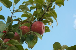 Apple Jacks Orchard:  The Zestars are ready for picking! | by pmarkham
