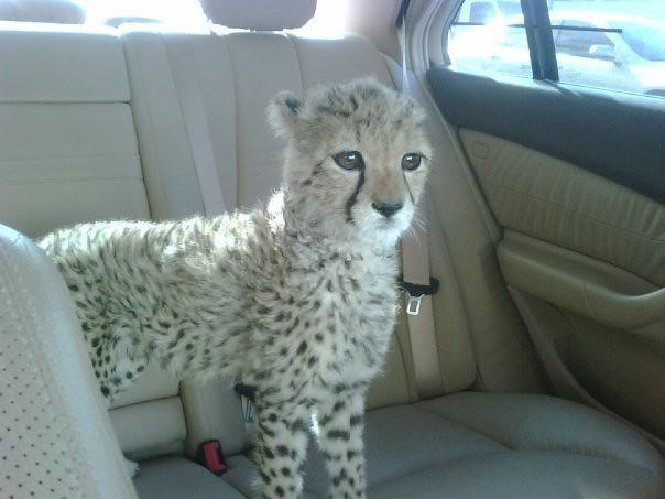 Pet Cheetah Uae Dubai Bully Flickr