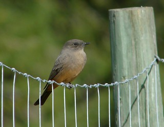 say's phoebe | by mikewiz