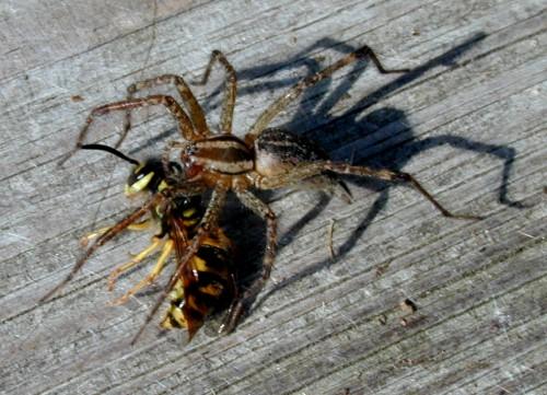 spider vs hornet nedski42 flickr. Black Bedroom Furniture Sets. Home Design Ideas