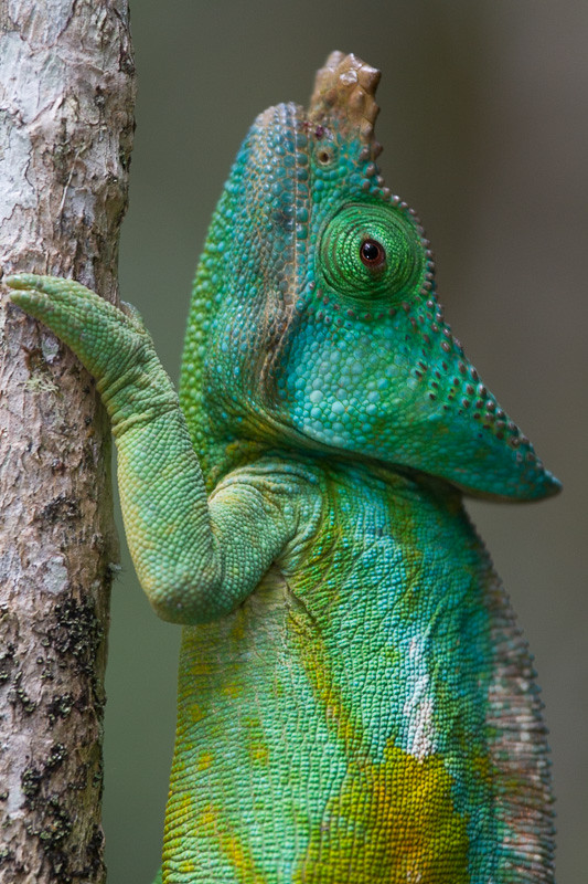 reptiles animal chameleon frog - photo #9