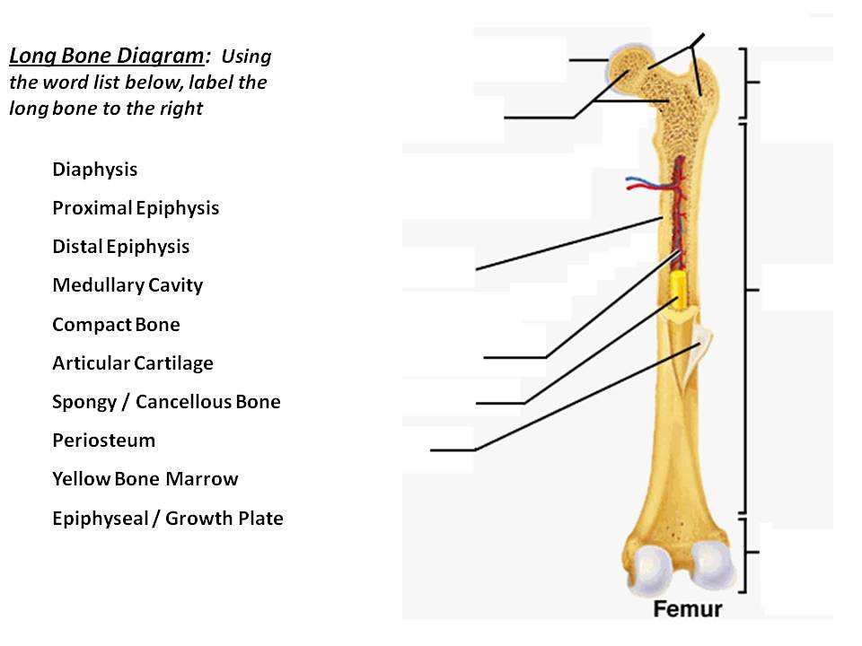 Long Bone Diagram