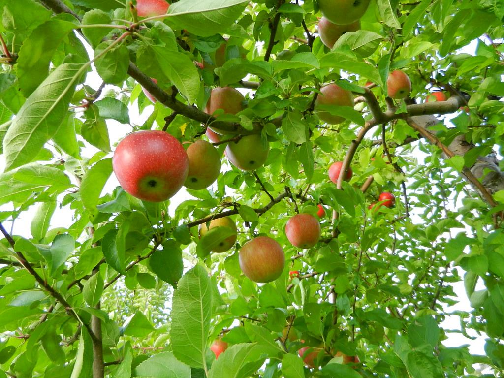 Apple Picking At Autumn Hills Orchard Groton September 20…  Flickr