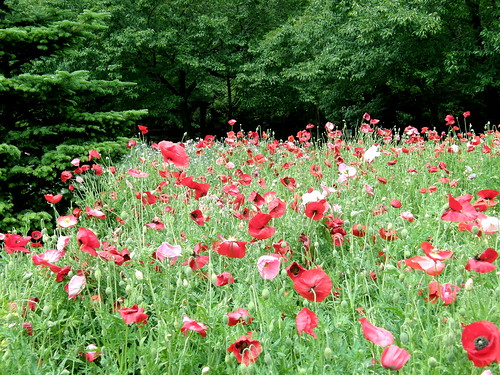 #7880 Oriental poppies (オニゲシ) | by Nemo's great uncle