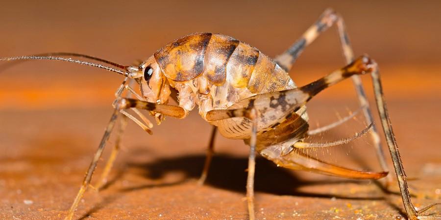 diestrammena asynamora orhtoptera rhaphidophoridae