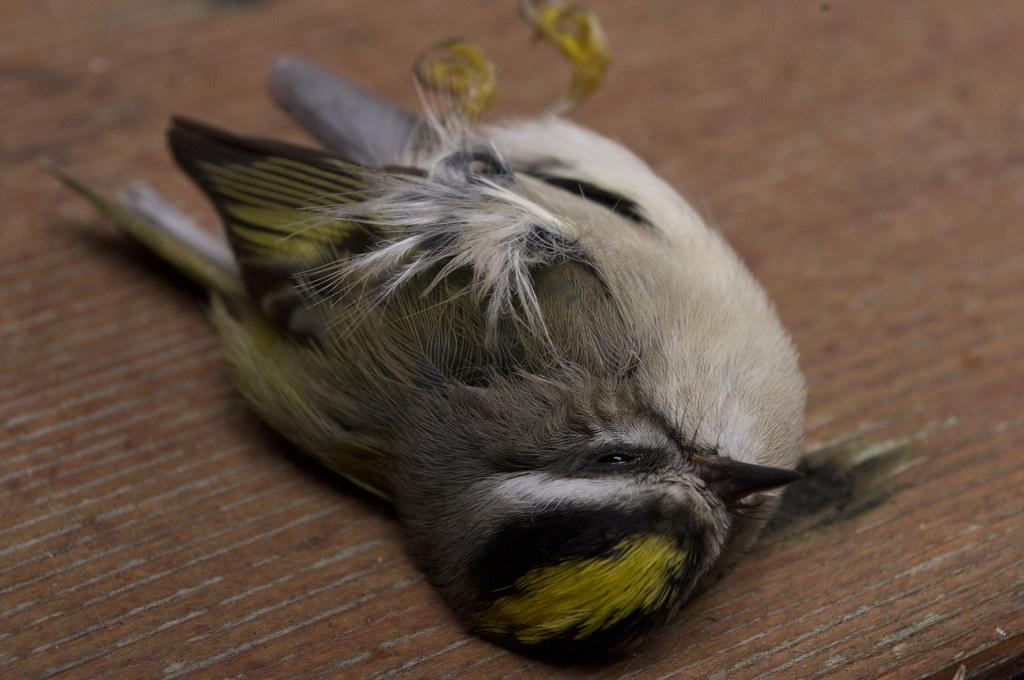 yellow head bird fergus firth flickr