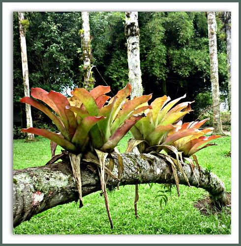 Bromelias en troncos jardin botanico lankester for Jardin lankester