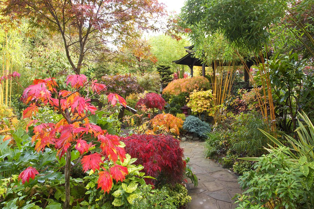 Autumn japanese maple colour in our middle garden on for Garden design with japanese maple