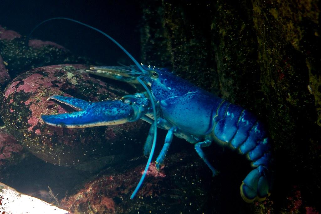 Rezultat iskanja slik za blue lobster