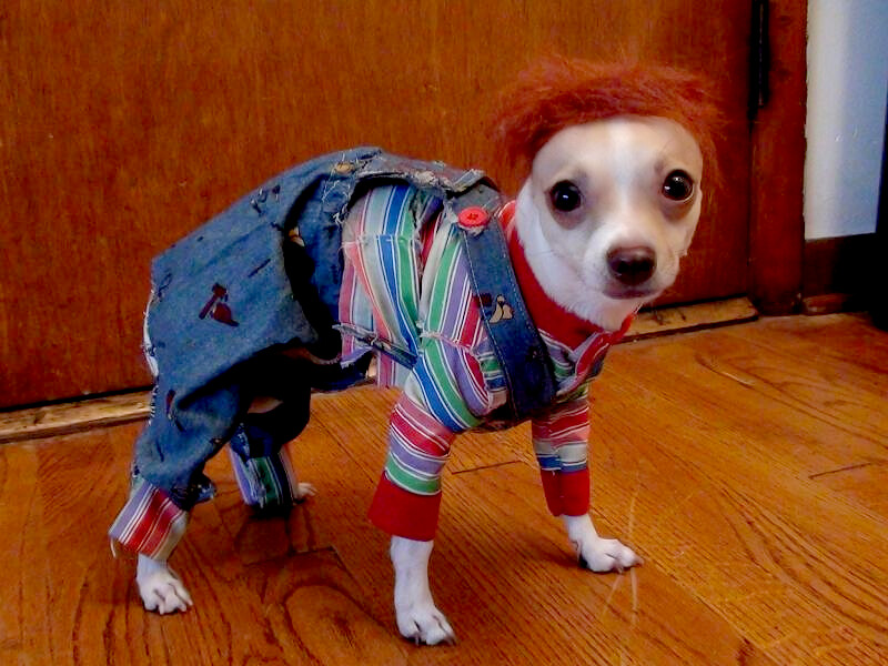 Chucky costume for dog's or pets | Tommy the chihuahua ...