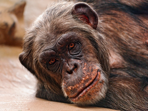 Lying chimpanzee | by Tambako the Jaguar