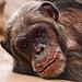 Lying chimpanzee