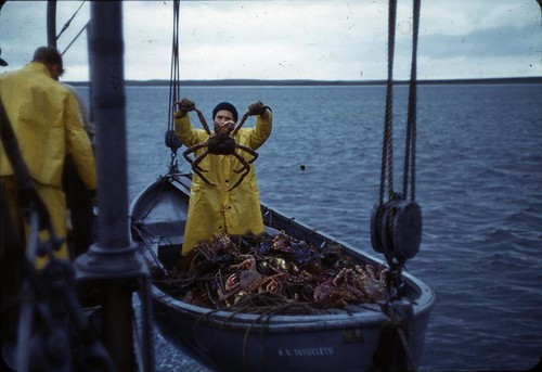 Example of catch from gill netting hoisted on the vessel Tondeleyo, September 19, 1940, during Alaska King Crab Investigation | by Smithsonian Institution