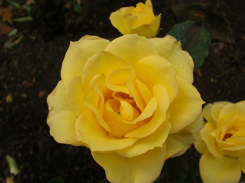yellow roses | by ruthug08(on and off)