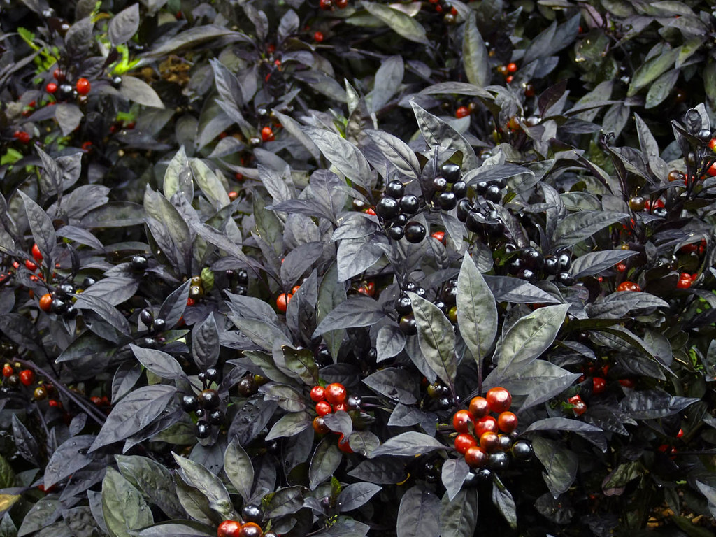 black pearl ornamental pepper every thing seems special