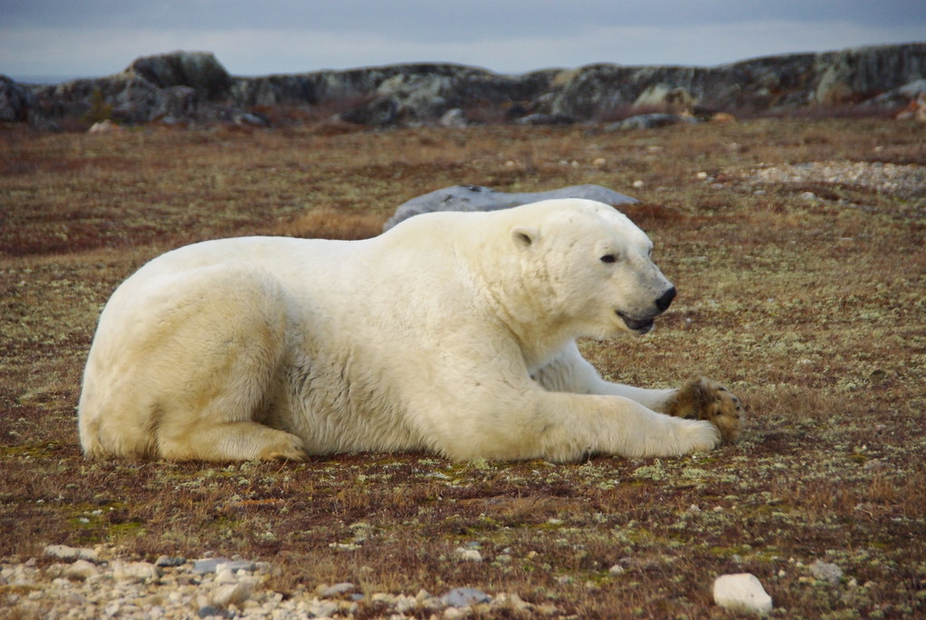 polar bear lying down martin lopatka flickr