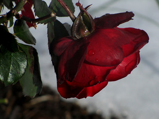 Wet Rose | by hpaich