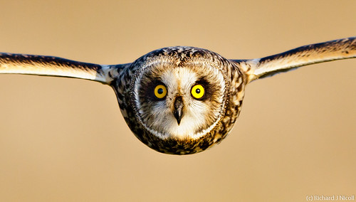 Short-eared Owl (Asio flammeus) | by Richard Nicoll