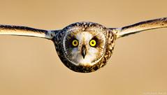 Short-eared Owl (Asio flammeus) by Richard Nicoll