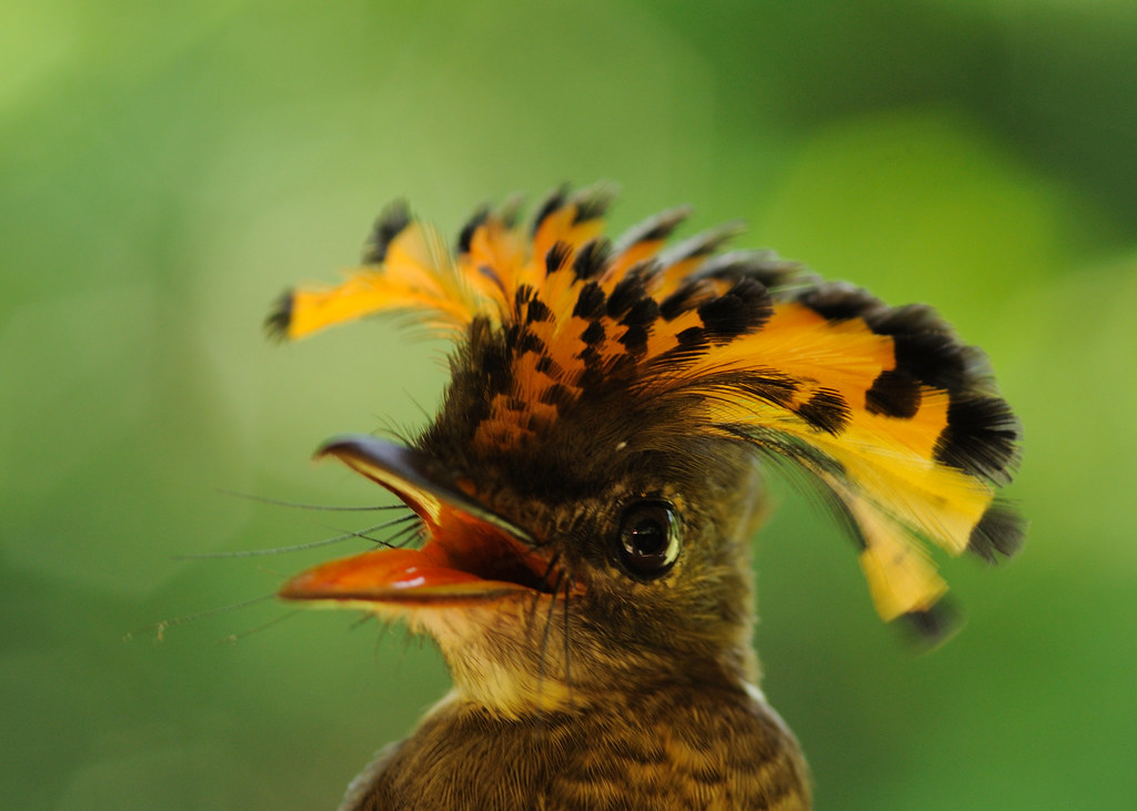 Amazonian Royal Flycatcher Female Amazonian Royal