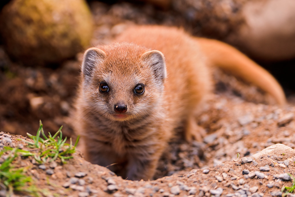 Cute And Fluffy Baby Mongoose At The Walter Zoo There