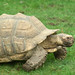 Tortoise - tortue sulcata - at Jurques Zoo, Normandy