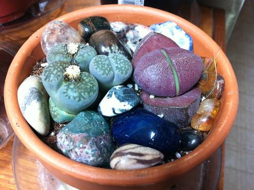 Live Rock Plants Living Rock Succulents
