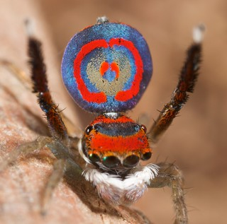 _MG_1915 (1) peacock spider Maratus splendens | by Jurgen Otto