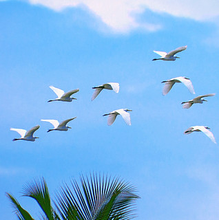 Nine Egrets  from Ukulhas,,,  Ari Atoll,,,,   Maldives | by ariflickrs