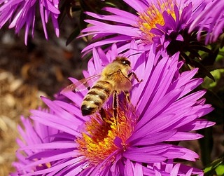 Honey Bee Lift Off macro taken with a Samsung Galaxy S II Android Smart Phone 20111011_165249 | by Ted_Roger_Karson