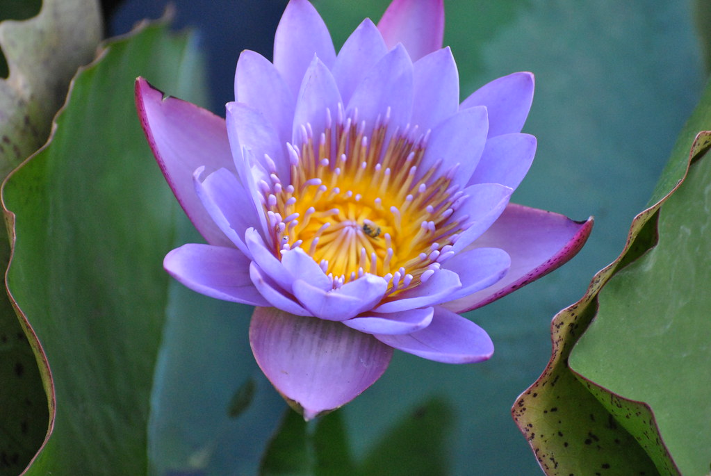essay on lotus flower Read this essay on lotus flower come browse our large digital warehouse of free sample essays get the knowledge you need in order to pass your classes and more.