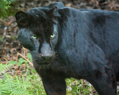 Black Panther (Black Leopard, Jaguar) at Jurques Zoo, Normandy, France | by Cross Duck