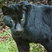 Black Panther (Black Leopard, Jaguar) at Jurques Zoo, Normandy, France