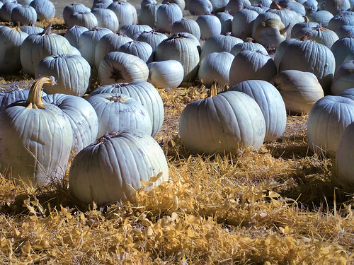 Pumpkins 2011 - Infrared | by tDav