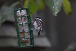 chestnut backed chickadee | by fog and swell