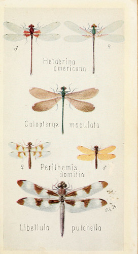 Illustration of some common dragonflies in a 1918 field book.