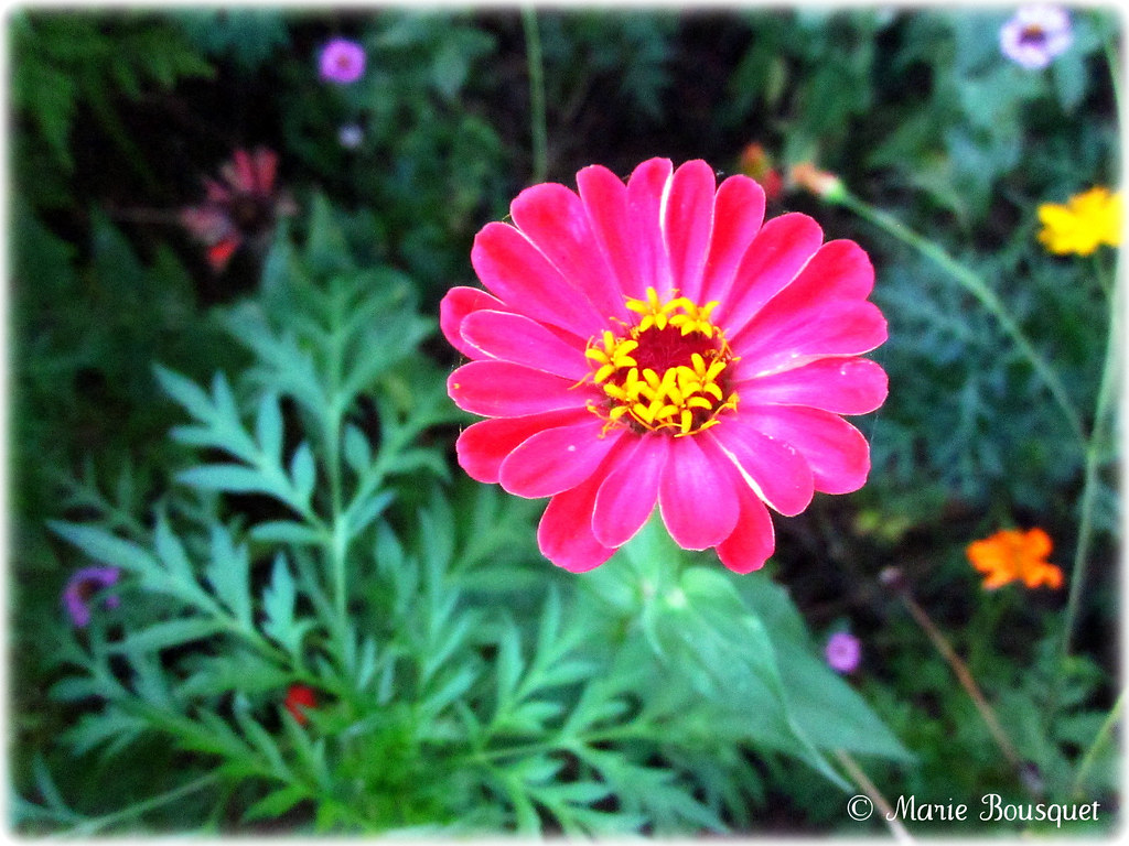 la fleur rose jaune - fleuriste bulldo