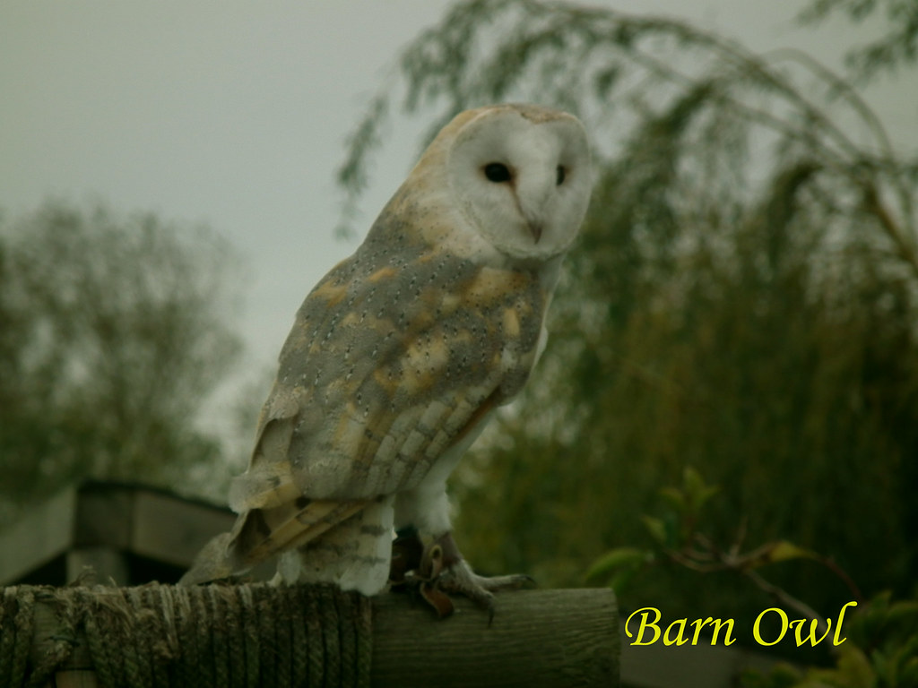 "Barn Owl, 271011,... 249   Barn Owls. ""Tyto alba ..."