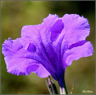 gateway blossom.. Mexican Petunias.. thanks, John! | by Foto.Bloke.. sick