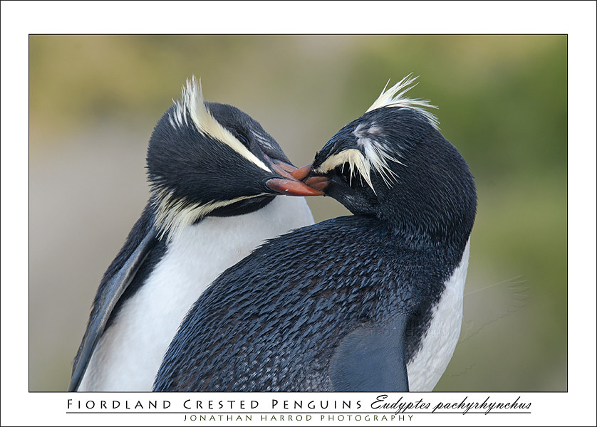 Aninimal Book: Penguin Kiss | It was amazing to see the affection that ...