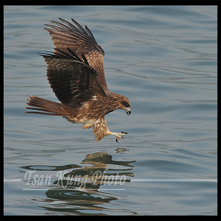 Black Kite (8) | by tsankung2009