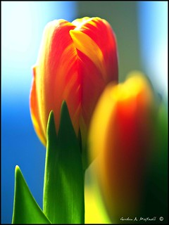 Tulips 1 | by G. Maxwell