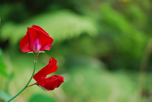 Sweet pea quite brilliant against the green | by imajane