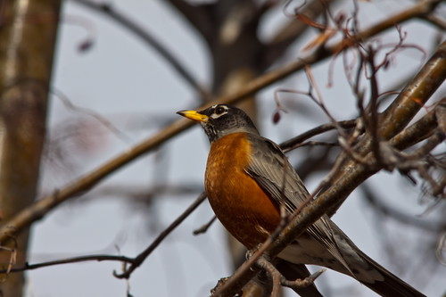 The Robins of Springtime 4 | by LongInt57