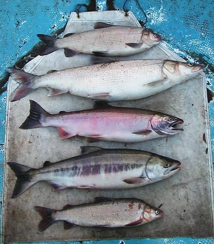 Yukon river fish buffet from top broad whitefish for Alaskan white fish