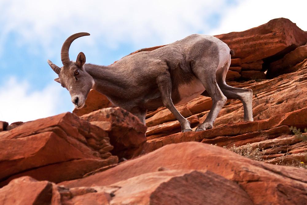 Big Horn >> Curious Rock Climber | Big Horn Sheep Zion Canyon National P… | Flickr